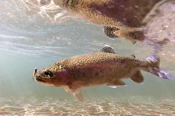 truta-fly-fish-freshwater-fly-fishingD3796663-AFC3-966B-C8A9-8011D2E25665.png